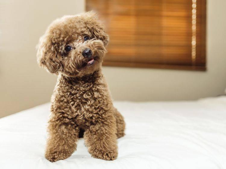 Dieser Toypudel sieht zwar wie ein Stofftier aus, ist aber ein ganz normaler Hund – Shutterstock / Lim Tiaw Leong