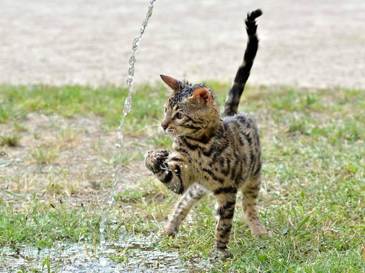 """""""Plitsch! Platsch! Das macht Spaß"""", findet diese süße Bengal-Katze, die mit dem Wasserstrahl spielt – Shutterstock / Calinat"""
