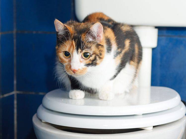 """""""Ich möchte nur hier sitzen, mein Geschäft verrichte ich lieber auf dem Katzenklo"""", scheint diese Glückskatze zu denken – Shutterstock / Xseon"""