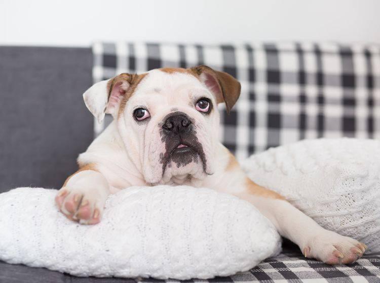 Die Englische Bulldogge ist niedlich und liebenswert, aber leider anfällig für diverse Krankheiten – Shutterstock / victoriyasmail