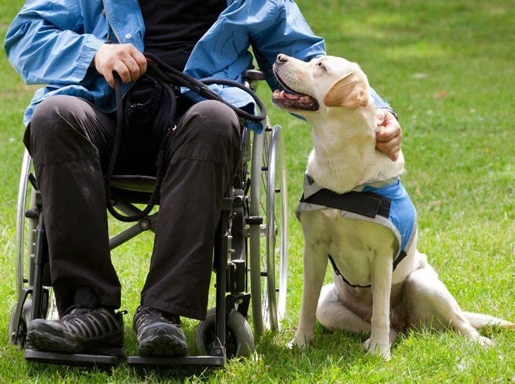 LPF-Assistenzhunde helfen Menschen, die zum Beispiel im Rollstuhl sitzen bei täglichen Aufgaben – Shutterstock / Antonio Gravante