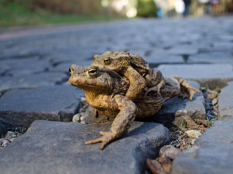 Die Krötenweibchen tragen die kleineren Männchen während der Wanderschaft auf dem Rücken herum – Shutterstock / Roman Belus