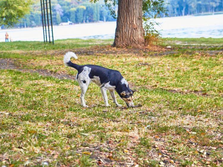 Um den Magen wieder ins Gleichgewicht zu bringen, fressen Hunde gelegentlich Gras – Shutterstock / kwikas