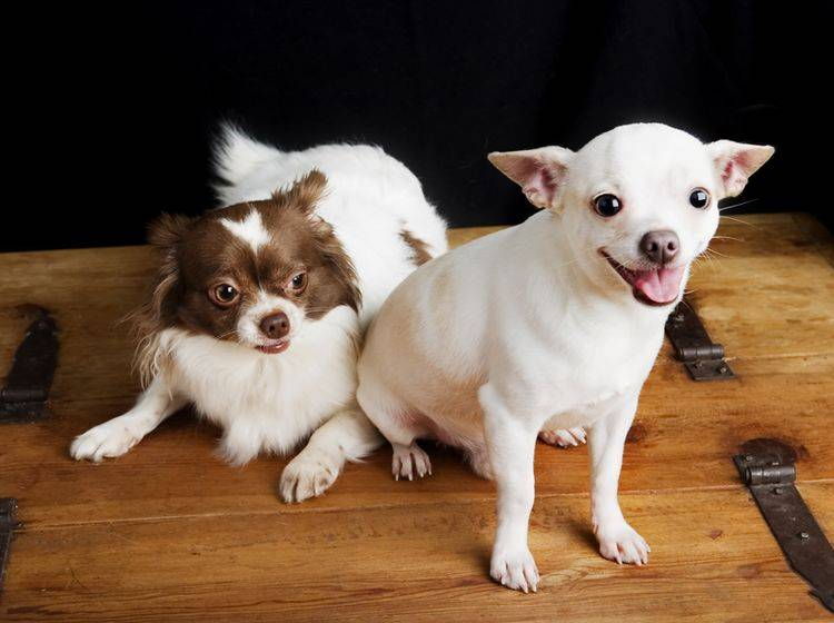 """Bis sich nach dem Hunde-""""Rendezvous"""" die Trächtigkeit bei der Hündin bemerkbar macht, dauert es eine Weile – Shutterstock / Tyler Olson"""
