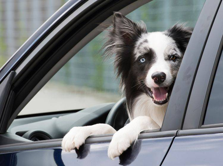 """""""Hundegeruch im Auto? Kein Problem!"""", findet dieser freche Vierbeiner – Shutterstock / Dora Zett"""