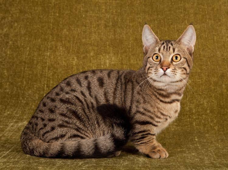 """Die Munchkin-Katze zeichnet sich durch ihre kurzen Beine aus und wird auch als """"Dackelkatze"""" bezeichnet – Shutterstock / Linn Currie"""