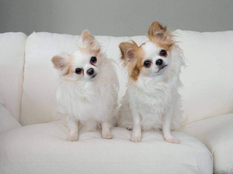 Diese beiden süßen Freunde erkennen, dass sie Hunde sind, aber nicht unbedingt, dass sie Chihuahuas sind – Shutterstock / funkyteddy