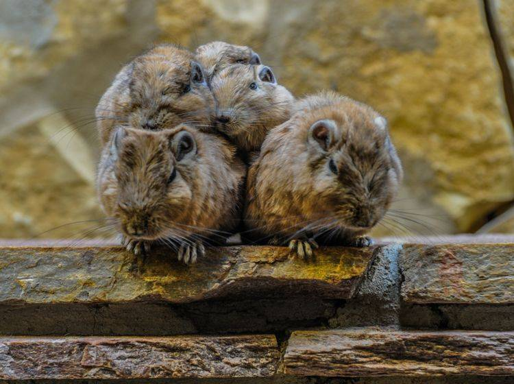 Degus sind äußerst soziale und verschmuste Tiere, die immer nur in Gruppen gehalten werden sollten – Shutterstock / Kelly Postma