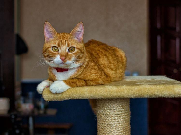 Alles im Blick – eine katzenfreundliche Wohnung verfügt über mehrere erhöhte Plätze für die Samtpfoten – Shutterstock / Alekseq