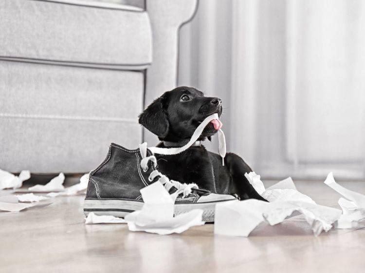 Hunde sollten schon im Welpenalter gut erzogen werden, um Hyperaktivität vorzugbeugen – Shutterstock / Africa Studio