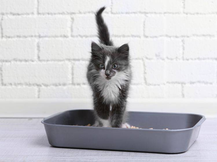 Vor allem für Katzenbabys ist es sinnvoll, mehrere Katzenklos in der Wohnung zu verteilen – Shutterstock / Africa Studio