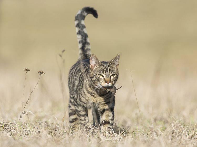 In der freien Wildbahn tragen Katzen ihr Futter ebenfalls weg, bevor sie es verzehren – Shutterstock / Lukasz Fijalkowski
