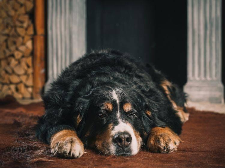 Leider ist der Berner Sennenhund recht anfällig für verschiedene Krankheiten – Shutterstock / Lebedeva Olga
