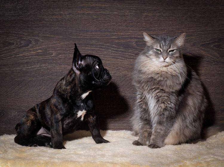 Diese kleine Französische Bulldogge scheint Angst vor der Katze zu haben – Shutterstock / Irina Kozorog