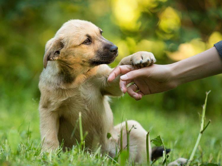 Nicht immer muss ein Hund in die Hundeschule, stimmen die Voraussetzungen, können Sie ihn auch zu Hause erziehen – Shutterstock / Natalia Fadosova