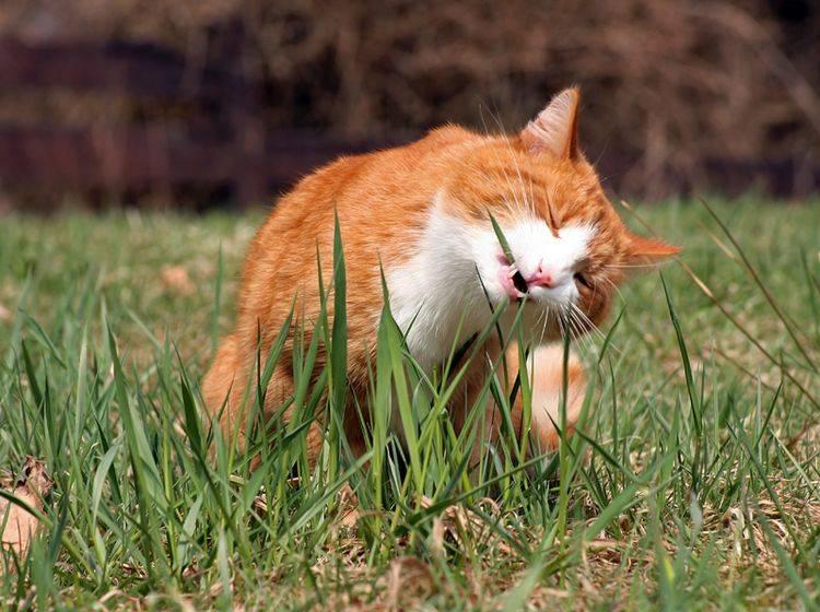 Die grünen Halme scheinen dieser Samtpfote zu schmecken, aber warum fressen Katzen Gras? – Shutterstock / Astrid Gast
