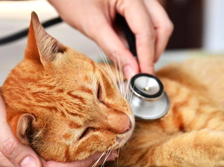 Der Coronavirus bei Katzen löst oft nur milde Symptome aus und führt nur selten zu FIP. Für Menschen ist das Feline Coronavirus nicht ansteckend – Shutterstock / JJ_SNIPER