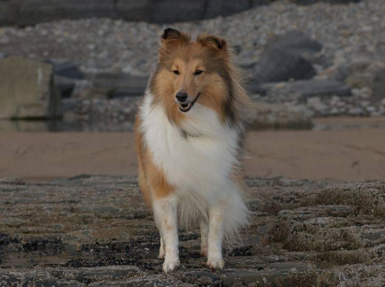 Der Sheltie oder Shetland Sheepdog ist eine recht gesunde Hunderasse – Shutterstock / J HIME