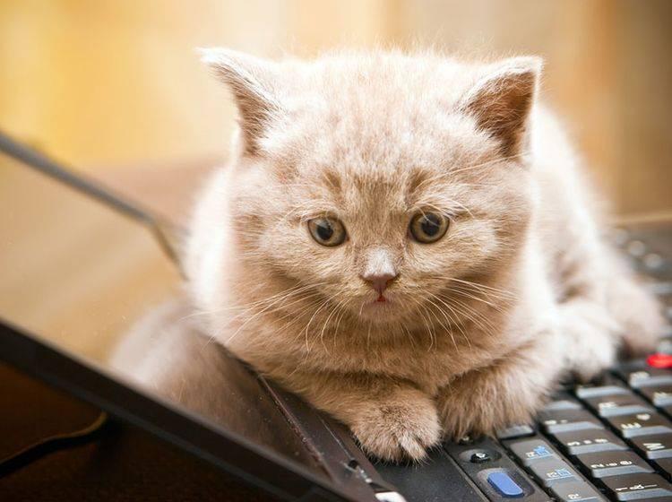 """""""Schenk mir die Aufmerksamkeit, nicht dem Laptop"""", scheint diese Britisch Kurzhaar sagen zu wollen – Shutterstock / Anna Lurye"""