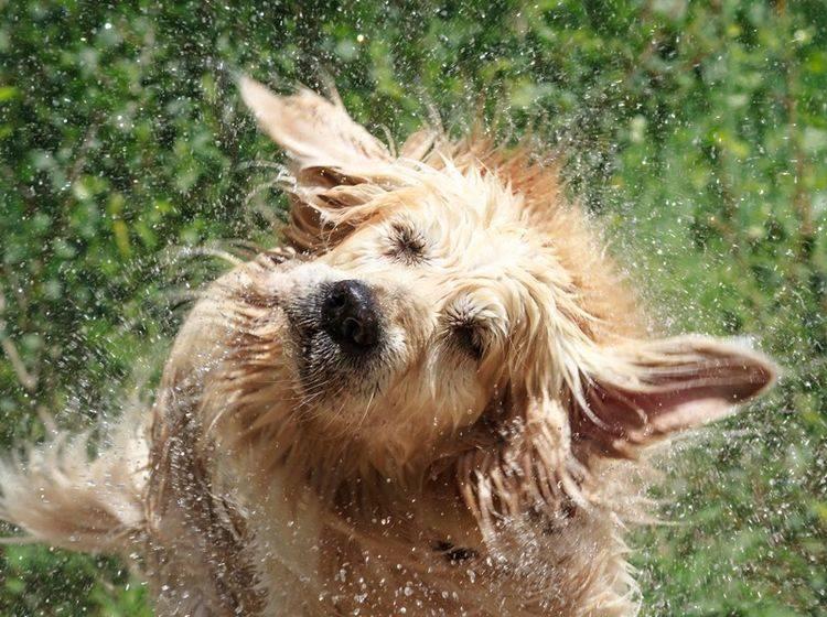 Golden-Retriever-Hund-schuettelt-sich