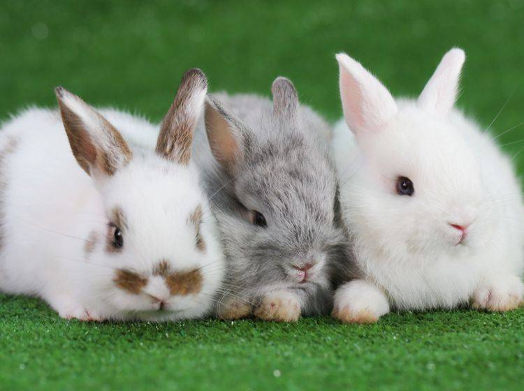 Auch wenn hier Harmonie herrscht: Probleme bei der Vergesellschaftung von Kaninchen sind nicht selten – Bild: Shutterstock / Soultkd