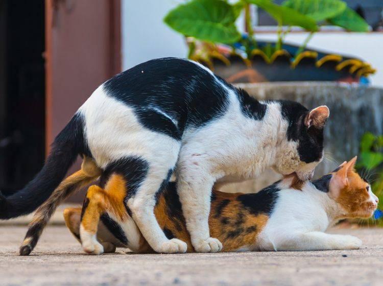 Katze-Hauskatze-Kater-besteigt-Katze