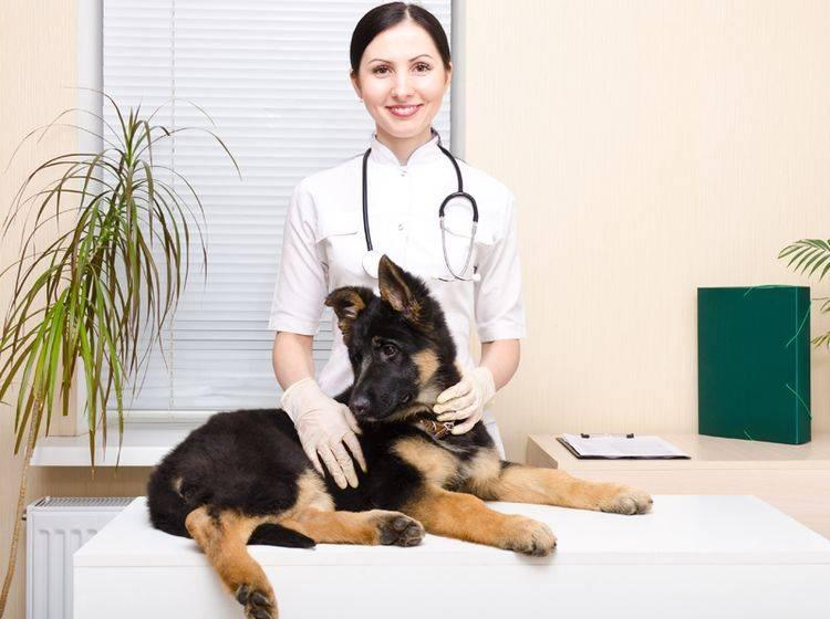Erkennen Sie erste OCD-Symptome bei Ihrem Welpen, dann sollten Sie unbedingt zum Tierarzt – Bild: Shutterstock / Sonsedska Yuliia