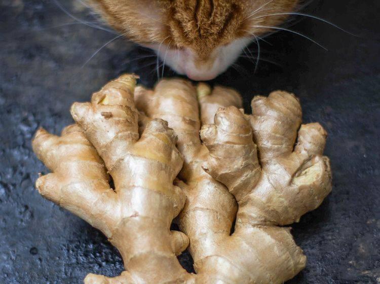 Schnuppern ist erlaubt, aber dürfen Katzen Ingwer auch essen? Oder ist die Knolle giftig für sie? – Shutterstock / JuliyaKosynskaya