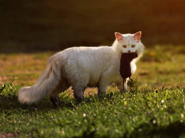 Manchmal erbeuten Katzen Ratten, aber dürfen sie die Nager fressen oder ist das gefährlich? – Shutterstock / Gallinago_media
