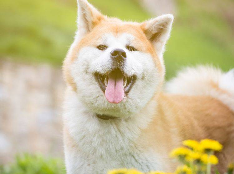 Was müssen Hundehalter bei der Ernährung des Akitas beachten, damit er gesund bleibt? – Shutterstock / zoff