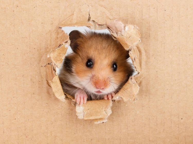 Hamster sind neugierig und quirlig – daher brauchen sie viele Beschäftigungsmöglichkeiten in Form von Einrichtungsgegenständen und Spielzeugen – Shutterstock / Ilyashenko Oleksiy