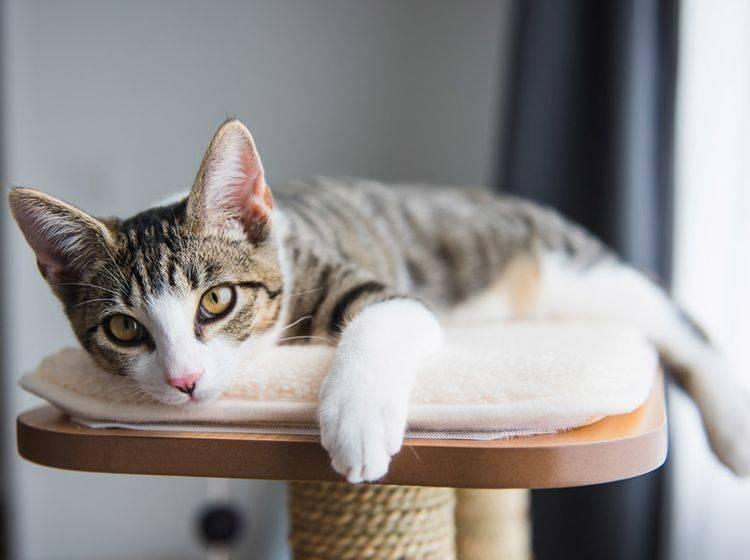 Worauf müssen Sie beim Kauf eines Kratzbaums für ältere Schmusekatzen achten? – Shutterstock / Anna Hoychuk