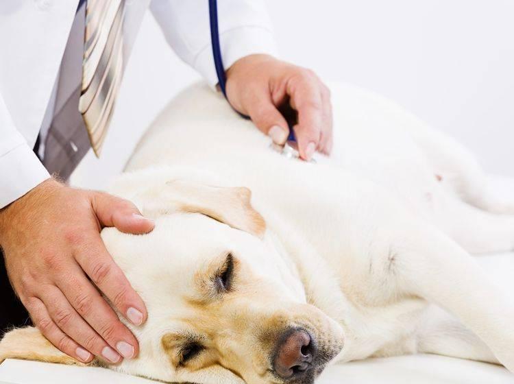 Labrador-krank-beim-Tierarzt-Reisekrankheiten-Mittelmeerkrankheit