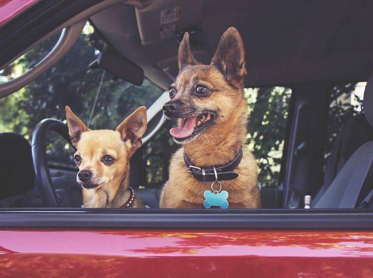 Ist ein Hund im Auto eingesperrt, dürfen Sie im Notfall die Scheibe einschlagen – Shutterstock / Annette Shaff