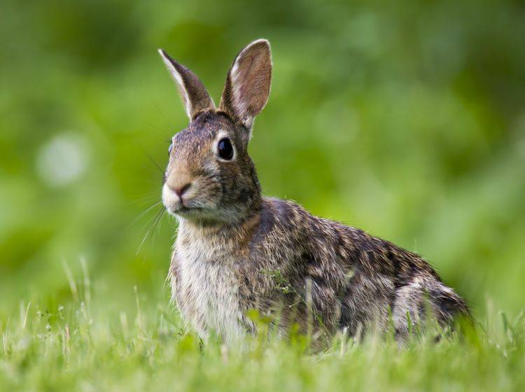 Wenn Kaninchen aggressiv werden, hat das in vielen Fällen mit Umgang und Haltung zu tun – shutterstock / Romeo Andrei Cana
