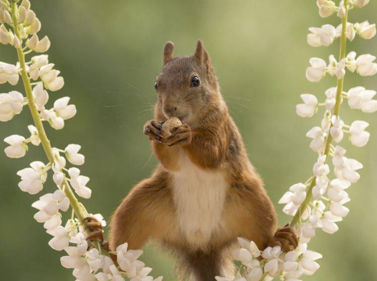 Bei dem Anblick ist leicht zu verstehen, warum Mensch sich ein Eichhörnchen als Haustier wünscht. Erlaubt ist es jedoch nicht – Shutterstock / geertweggen