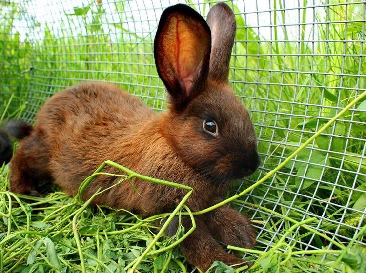 braunes-Kaninchen-Wie-alt-werden-Kaninchen