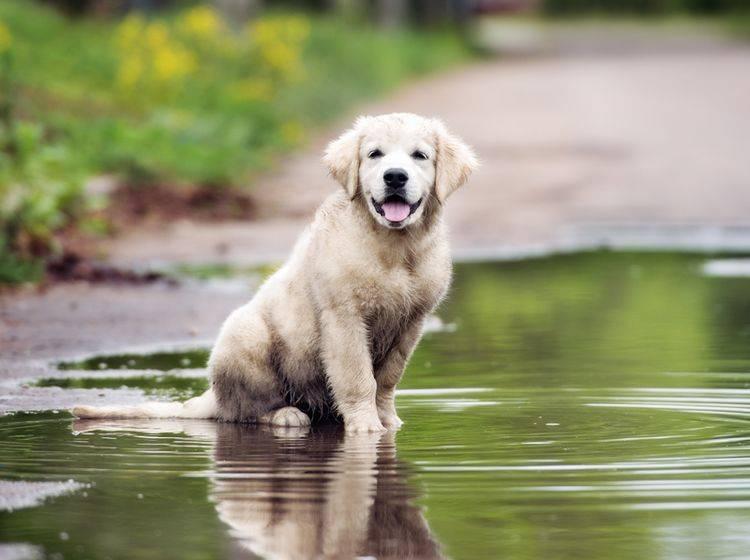 Die Leptospirose-Erreger lauern beispielsweise in stehenden Gewässern wie Pfützen. Welpen und Hunde, deren Immunsystem schwach ist, sind bei einer Ansteckung besonders gefährdet – Shutterstock / otsphoto
