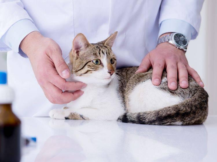 Je eher ein Tumor bei Katzen entdeckt wird, umso größer sind die Heilungschancen – Shutterstock / Elnur