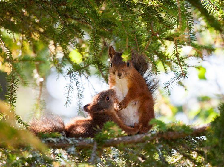 Die Mutter zieht die Eichhörnchen-Babys alleine groß – Shutterstock / BLFootage