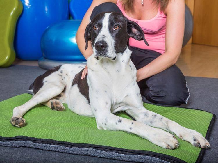 Rheuma beim Hund kann nicht geheilt werden, aber Physiotherapie hilft, die Symptome zu lindern – Shutterstock / msgrafixx