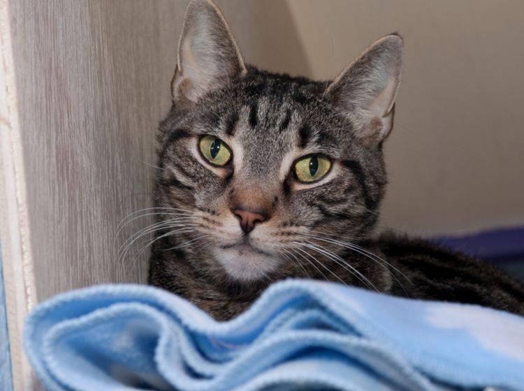 Katzen aus dem Tierheim fühlen sich in vielen Fällen schnell in ihrem neuen Umfeld zuhause – shutterstock / Angelina Pilarinos