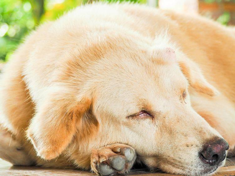 Für Hautkrebs gilt: Je früher Sie Veränderungen an Ihrem Hund entdecken und damit zum Tierarzt gehen, desto besser die Chancen auf Heilung – Shutterstock / sarocha wangdee