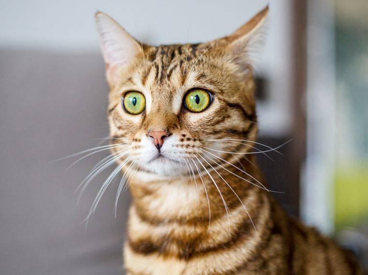Haben Katzen einen Schock, ist ihre Atmung schnell und flach – shutterstock / Ingus Kruklitis