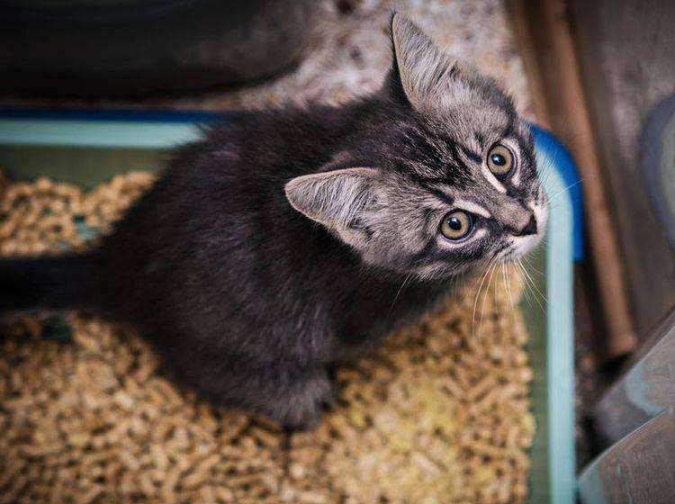 Der Katzenkot Ihres Stubentigers sagt viel über seine Gesundheit aus – Shutterstock / Khamidulin Sergey