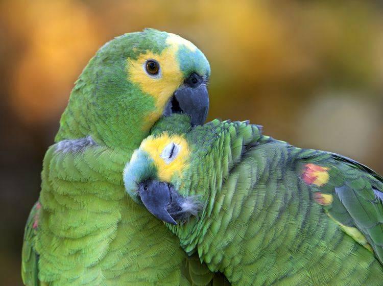 Federlinge beim Vogel übertragen sich bei engem Körperkontakt, sind aber zum Glück recht selten – Shutterstock / Pablo Rodriguez Merkel