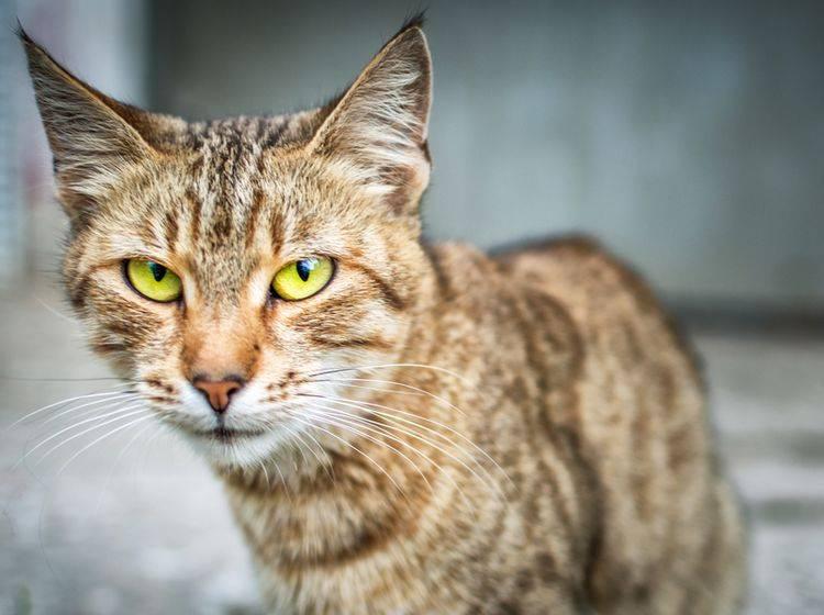 Wenn eine Katze nicht frisst, stecken manchmal ernstzunehmende Erkrankungen dahinter – Shutterstock / Anastasiya Tsiasemnikava