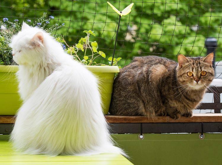 Diese beiden Katzenfreunde genießen ein bisschen Freiheit auf ihrem Balkon, der mit einem Katzennetz gesichert ist – Shutterstock / Dora Zett