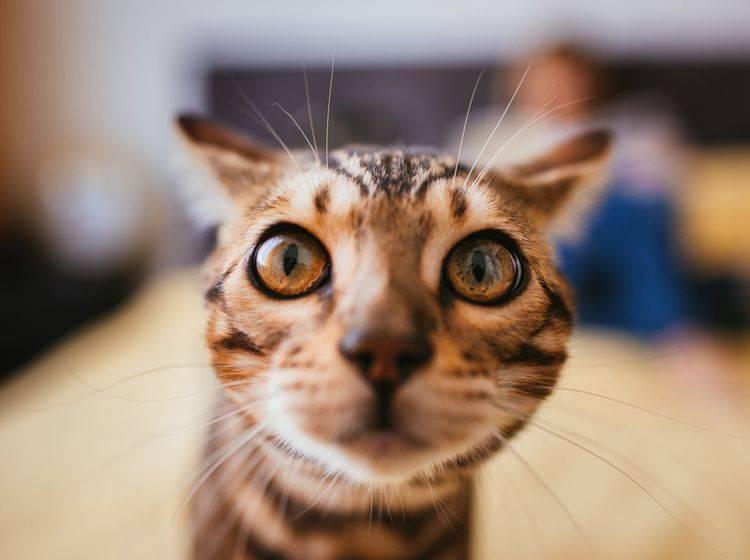 Beim Targettraining stupst Ihre Katze mit der Nase einen bestimmten Gegenstand an – Shutterstock / pyrozhenka