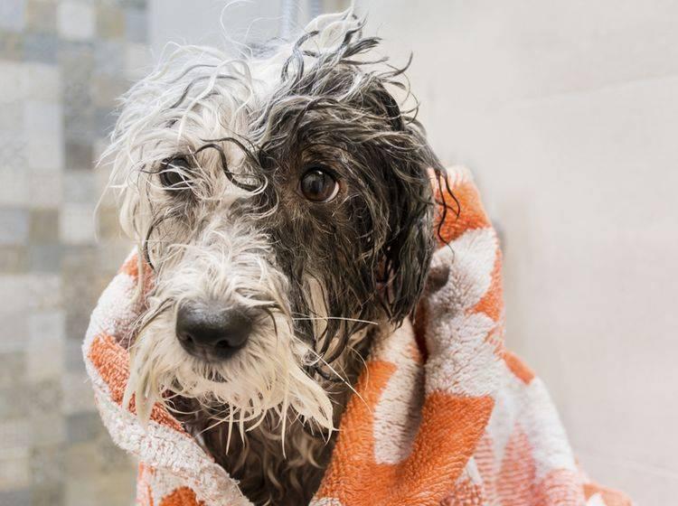 Wer seinen Hund badet, sollte etwa auf Shampoo für Menschen verzichten – Shutterstock / Boryana Manzurova